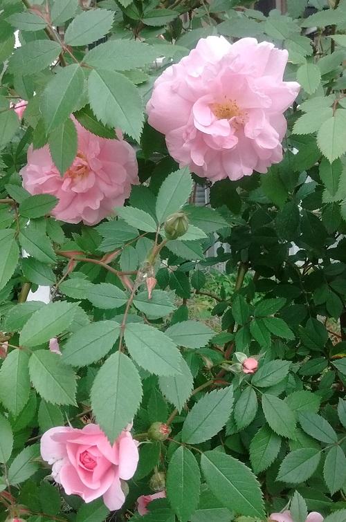 Tisane de Roses, rosier de Montreal,